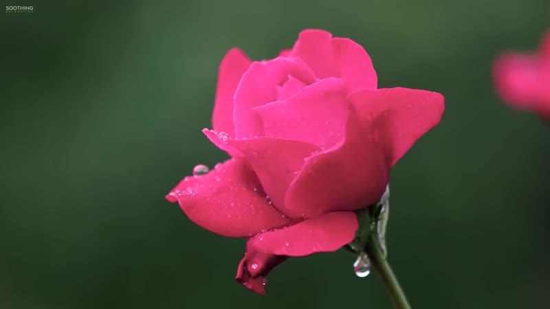 Peder B Helland Rose Petals