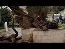 В Палестине рухнул Мамврийский Дуб