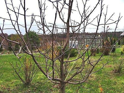 Что нужно знать про обрезку молодых яблонь