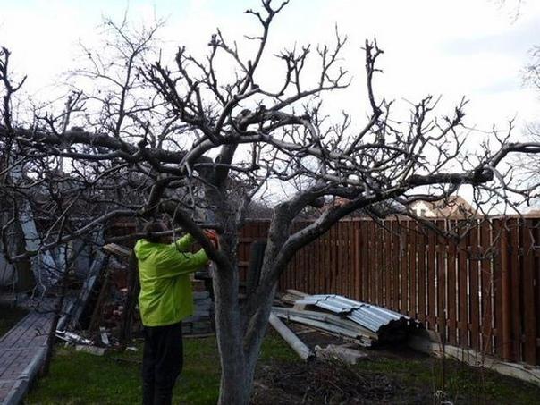 Вы спрашивали. Осенью не смогли провести обрезку старых яблонь. Когда можно приступить к этой работе Отвечаем. Время весенней обрезки зависит от погодных условий. Обычно к этой серьезной работе