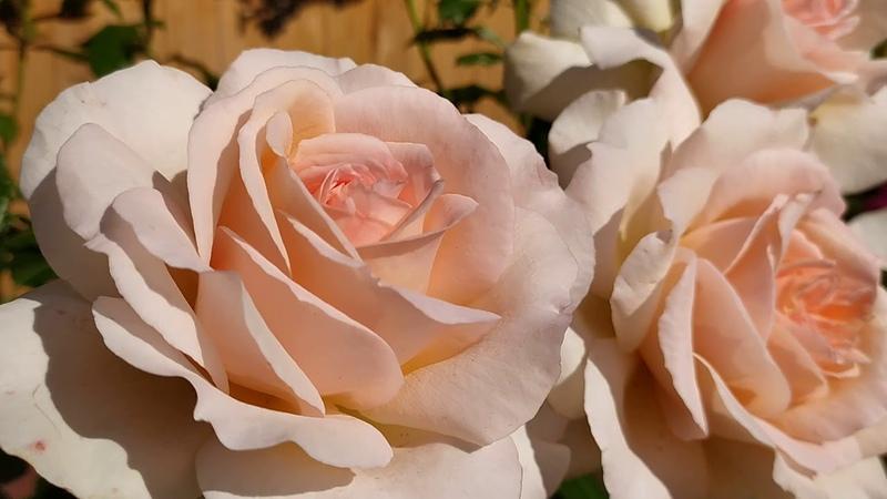Чайно-гибридная роза Чандос Бьюти (Chandos Beauty).