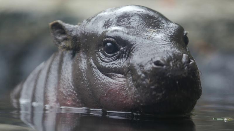 Endangered Pygmy Hippo Calf Named Akobi