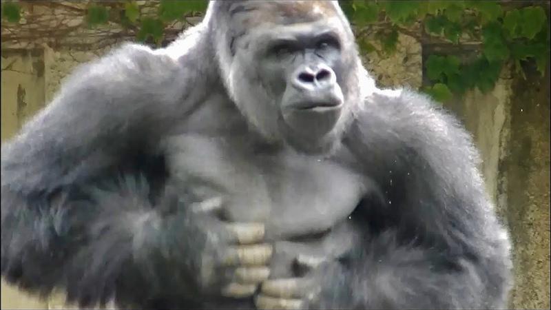 ゴリラのドラミング part2 胸をポコポコ。メスもあり 東山動物園