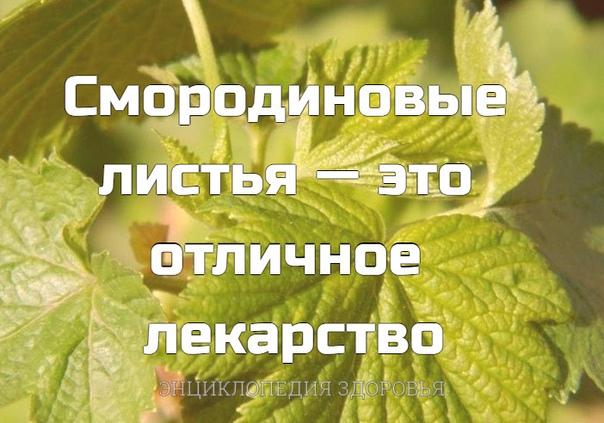 Смородиновые листья  это отличное лекарство
