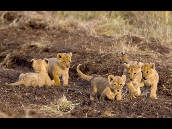 Lions Cubs vs Little dog fight over food