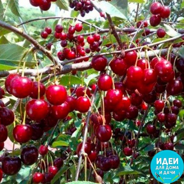 Подкормка вишни, которая многократно увеличит урoжай.