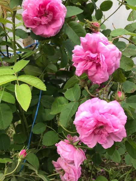 Что это Роза или шиповник