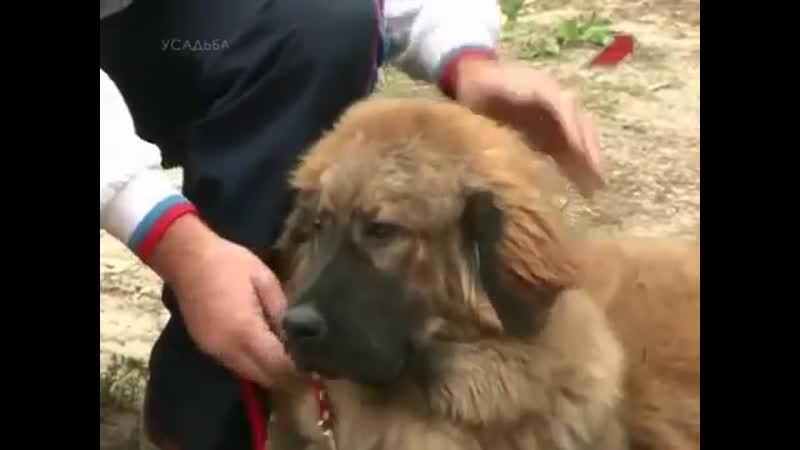 Тибетский мастиф (1)