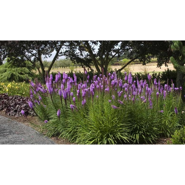 Лиатрис очень дружелюбный цветок, практически все садоводы, выращивающие эту культуру на своих приусадебных участках, отзываются о нем очень тепло