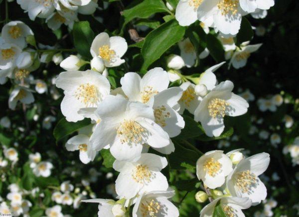 Как правильно ухаживать за кустами жасмина, которые используются в ландшафтном дизайне Кусты жасмина настоящее украшение любого сада, особенно когда весной растение покрывается многочисленными
