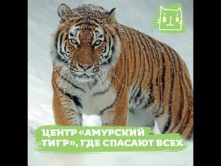 Центр Амурский тигр, который борется браконьерством, контрабандистами и вырубкой лесов