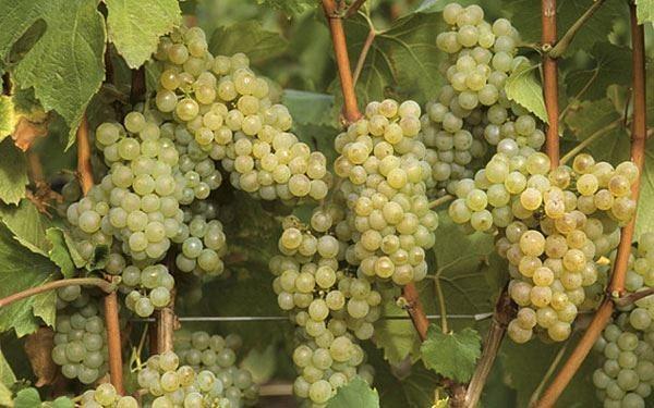 ПРИЧИНЫ ОТСУТСТВИЯ УРОЖАЯ НА ВИНОГРАДНИКЕ Вырастить большие красивые грозди у винограда не так просто, как кажется новичкам. Если сделать что-то неправильно, то можно вообще остаться без