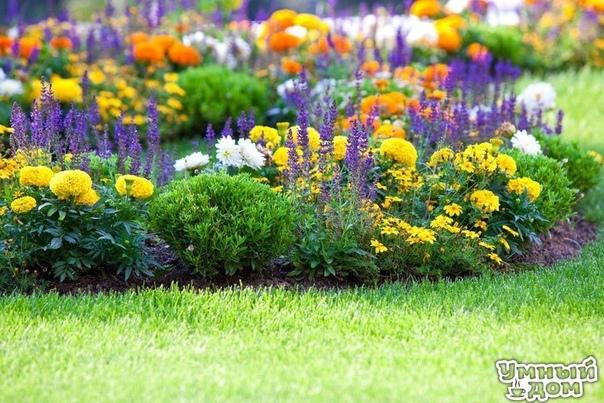 Бархатцы бархатный шик вашего сада! Бархатцы довольно распространенное растение в наших садах, такое название они получили благодаря своим цветкам, лепестки которых выглядят как бархатная ткань.