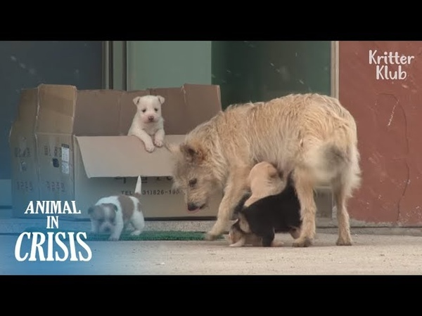 Stray Mother Dog Crossing The Road Of Death To Breastfeed Her Pups   Animal in Crisis EP120