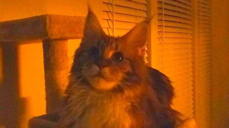 Maine Coon Kitten Watching a History Channel A First World War Program Cute Funny Cat Video