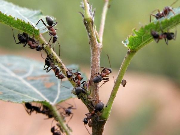 Надоедливых муравьев со своего дачного участка я выгоняю очень просто