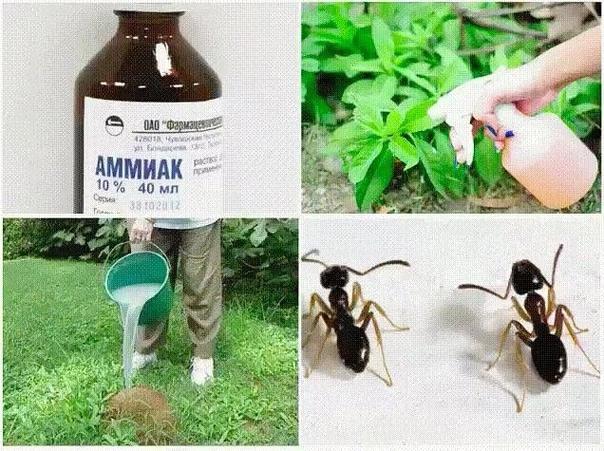 Применение нашатыря на даче 1. От муравьев на кухне. 100 мл нашатырного спирта смешать с 1 л воды и протереть раствором полы и всю мебель, обязательно хорошенько проветрить. Непрошеные гости и