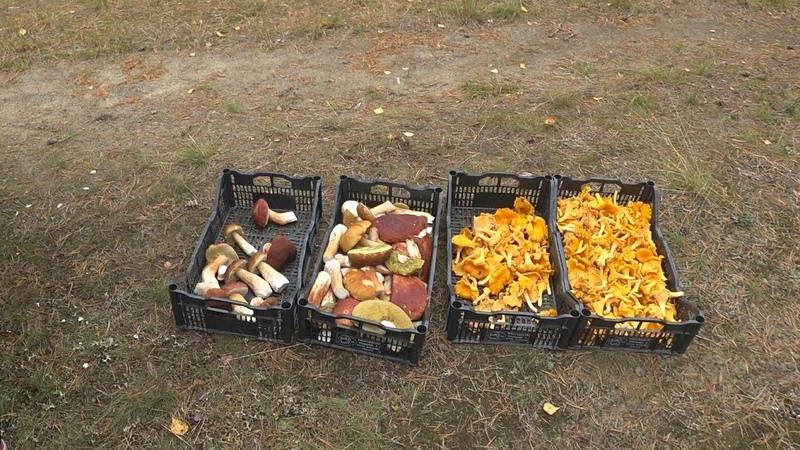 Сезонная Работа в Финляндии Сбор грибов Сколько можно заработать