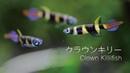 40 クラウンキリー Clown Killifish グッピーのような存在感のある小さな熱帯魚