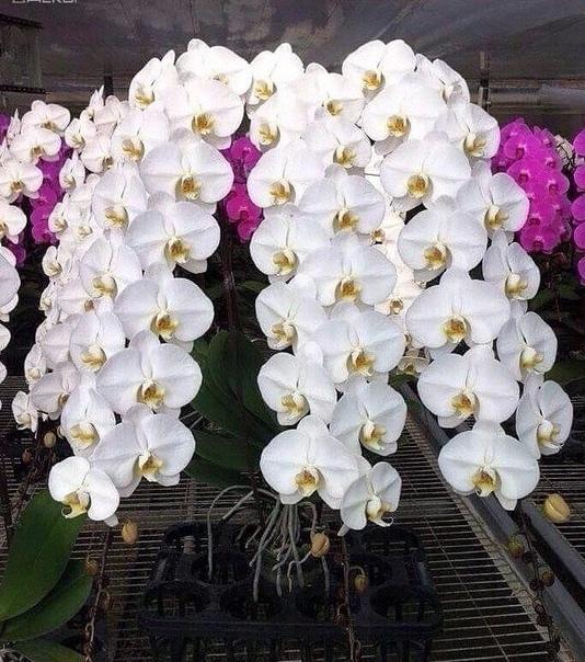 Ферма по разведению орхидей кто без ума от орхидей! дача растим цветы вместе