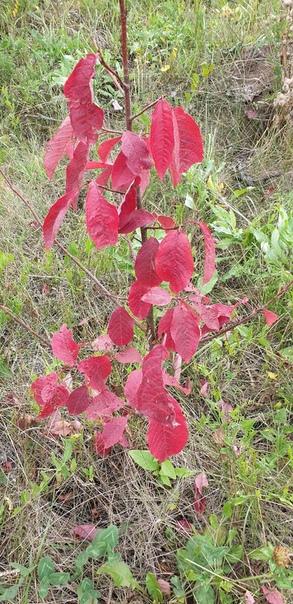 Подскажите,что за растение Выросло дичкой на участке.И что за штуки на листьях