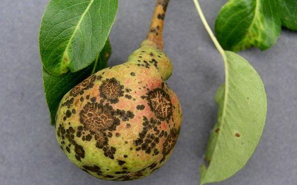 Как защитить грушу весной от парши