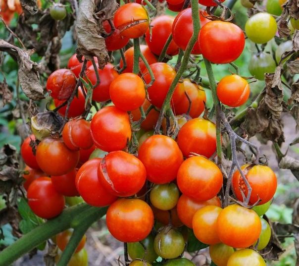 Народные методы борьбы с фитофторозом помидоров.