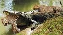 Báo đốm đụng nhầm đối thủ Cá sấu nổi giận Trả Đũa kẻ đã táp đuôi mình Kẻ thù xém chết đuối