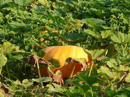 Тыква ваш диетолог. Существует огромное количество способов приготовления тыквы, а также блюд из этой яркой красавицы. Вкусная и полезная тыква попала к нам из центральной Америки и отлично