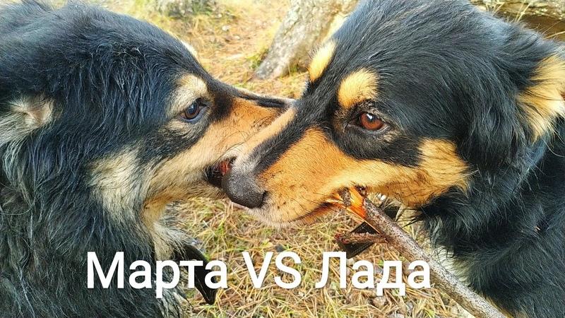 МАРТА или ЛАДА собаки не поделили палку