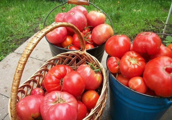 ЧТОБЫ ПОМИДОРЧИКИ БЫЛИ КРУПНЫМИ! Чтобы любимые помидоры были крупными и созревали быстрее, приготовим для них полезные напитки: - в 10 литров добавим 3-4 капли йода. Поливать томатные кустики