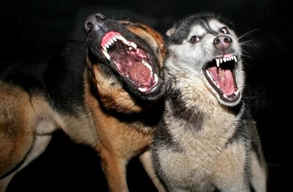 В Пeрми стая собак напала на трёх мальчиков Один из них находится в тяжелом состоянии в больнице 29 ноября в Пeрми стая собак в частном секторе Висима напала на трёх мальчиков, которые в логу