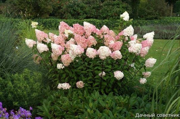 ГОРТЕНЗИЯ МЕТЕЛЬЧАТАЯ Достоинства гортензии метельчатой: - Обильное и продолжительное цветение. Любой однолетний побег у гортензии метельчатой обычно заканчивается соцветием, а побегов у нее