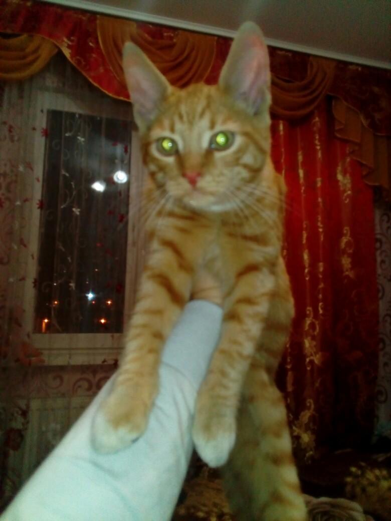 Найден Кот !! На улице Белобородова 11