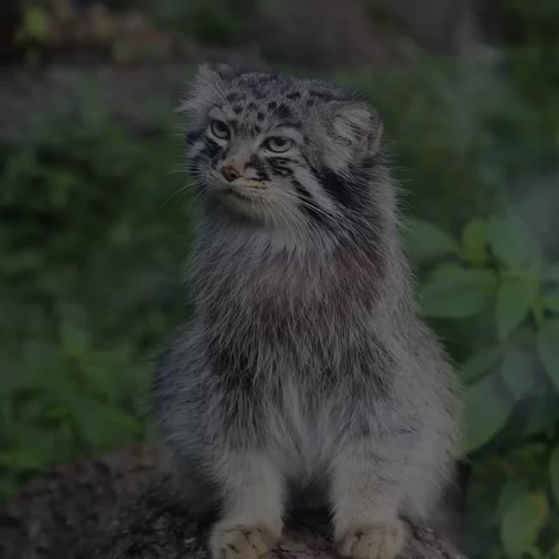 Редкие и необычные виды диких кошек
