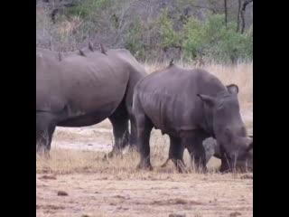 Гиены напали на носорога