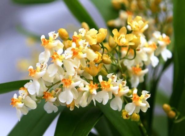 Топ-5 орхидей для новичков в садоводстве. Орхидея всегда привлекает начинающих цветоводов изящностью, но в то же время отталкивает капризным нравом. Давайте узнаем, с какими видами этих