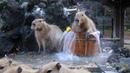 みんなで入浴 カピバラ温泉~桶風呂~始めました! 2017.12.5(埼玉県こども動物自然公園 公式 SaitamaChildrensZoo official )capybara onsen