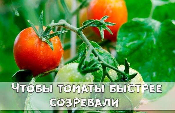 Чтобы томаты быстрее созревали