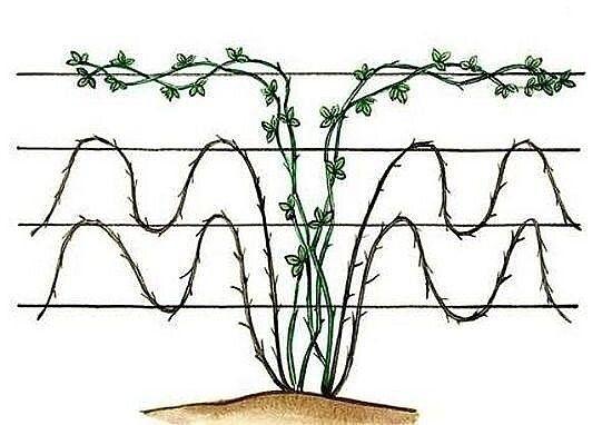 СЕКРЕТЫ ВЫРАЩИВАНИЯ ЕЖЕВИКИ Сохраните, чтобы не потерять! Посадка и уход В маленьком саду посадка ежевики не рекомендуется. Она, как и малина, очень быстро растет и может заполонить сад и огород