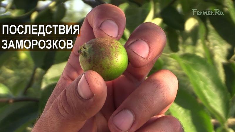 ВЕСЕННИЕ ЗАМОРОЗКИ Что стало с яблоками Сорт Белый налив Яблоневый сад Василе Берзой