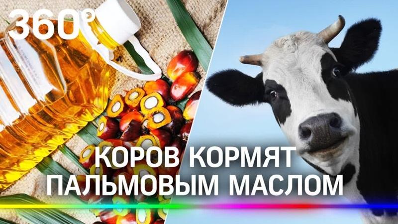 Пальмовым маслом кормят коров в Канаде