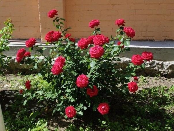 5 способов погубить розу Чтобы королева цветника не начала чахнуть и сбрасывать бутоны, не совершайте 5 стандартных ошибок.1. Посадить розу в тениРозы очень любят свет и тепло. В тени растения
