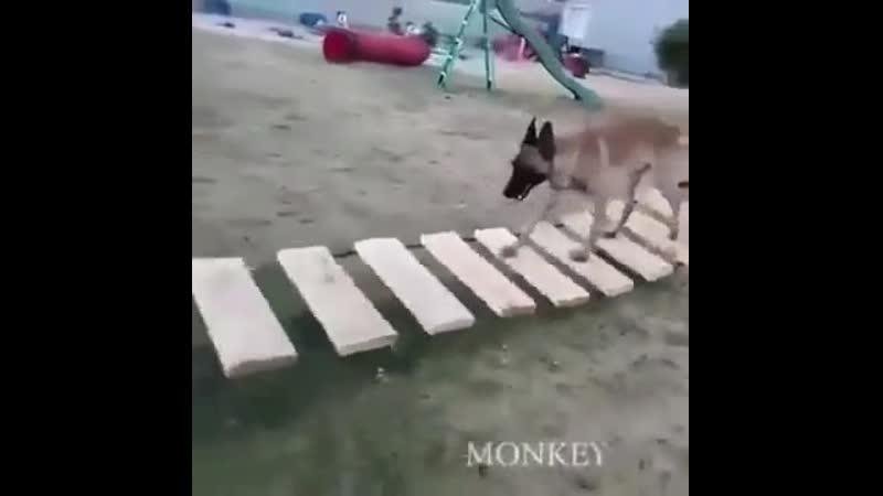 Бельгийская овчарка акробат среди собак