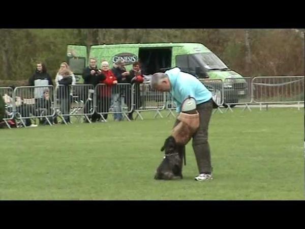 French bulldog 1½ year old, Purplehearts Magic Evolution Ozzy IPO 3 DM Grp. C show