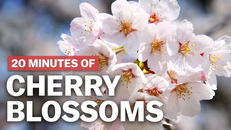 20 Minutes of Cherry Blossoms | japan-guide.com