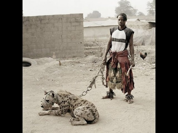 Can you domesticate an African wild dog