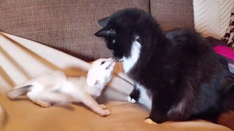 Fox Kits Annoying Cats
