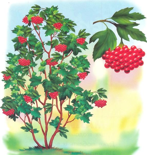 КАЛИНА КРАСНАЯ: ПОЛЕЗНЫЕ СВОЙСТВА И ПРОТИВОПОКАЗАНИЯ Калина удивительное растение, ведь в нем полезны не только терпкие ягоды, но и их зернышки, кора ствола. Этот дар природы помогает в лечении