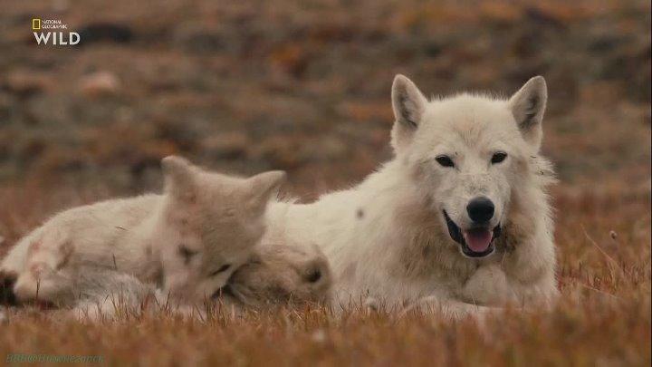 Королевство белого волка 2 Королева волчица Познавательный природа животные 2019